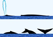 Blue Whale Surface Characteristics