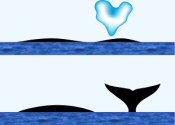 Bowhead Whale Surface Characteristics