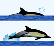 Common Dolphin Surface Characteristics