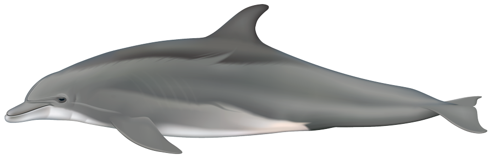 Bottlenose dolphin (Tursiops truncatus