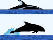 Pacific White-Sided Dolphin Surface Characteristics